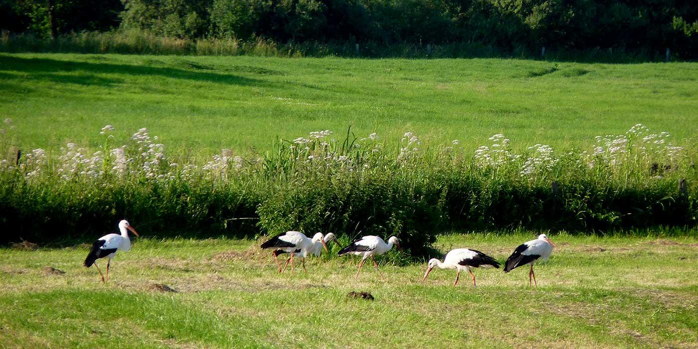 Störche in den Lippewiesen